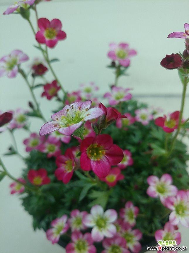 운간초 분홍(대)