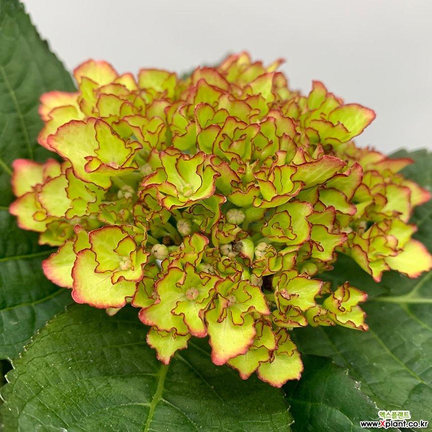수국 꽃대2대(6)