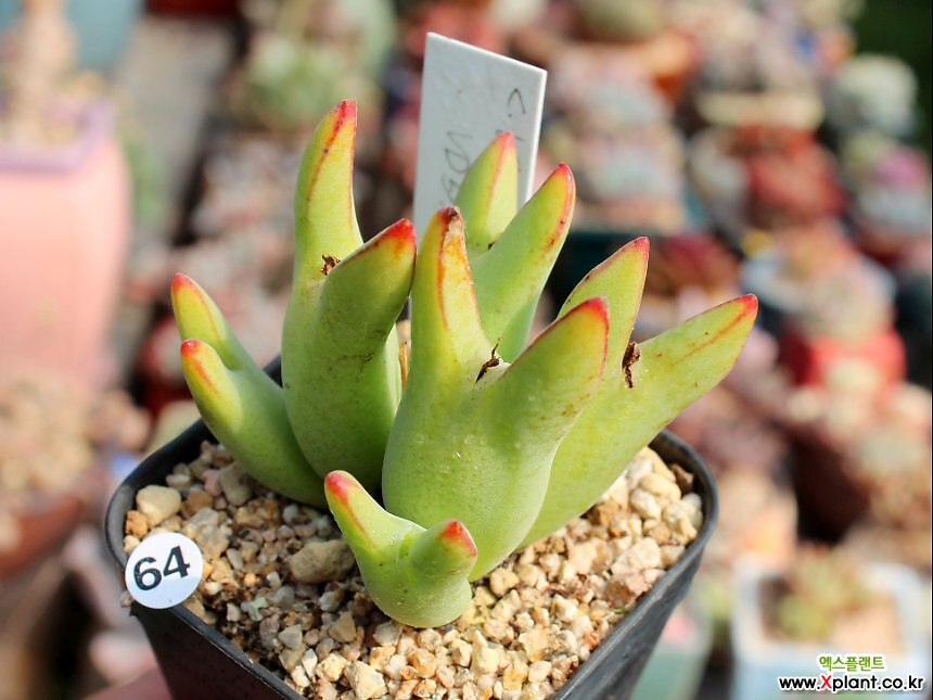 C. bilobum incurvum VD5739 (빌로붐 잉커붐)