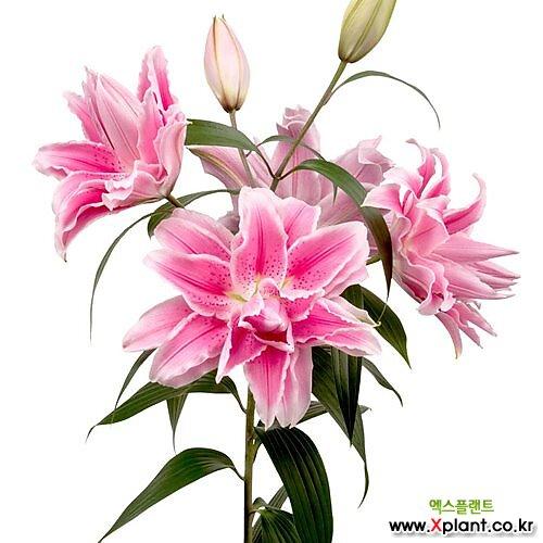 향기좋은 겹꽃 장미백합 이자벨라 특구근2개