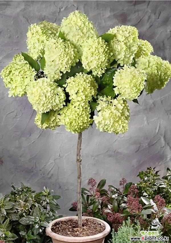 [특별사은품]패닉수국  라임라이트 외목수형 화분상품,한번 보면 반해서 패닉상태에 빠지는 꽃,패닉 수국 스탠다드 타입