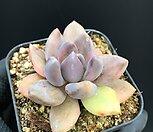 자려전금|Pachyveria oviferum cv . shireiden