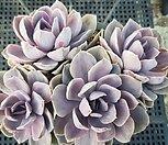 펄본베르크금 305 variegated