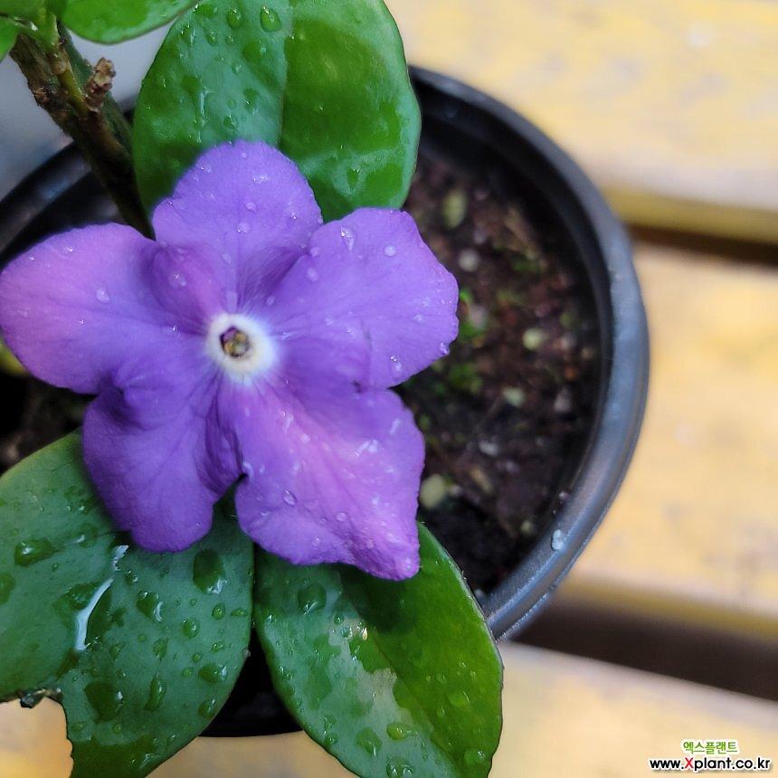 묵은둥이자스민(브룬펠지어) 처음에 꽃이 보라색으로피고흰색으로변하는아이에요