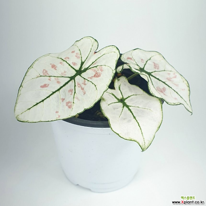 스트로베리스타 칼라디움 칼라디움스트로베리스타 공기정화식물 한빛농원
