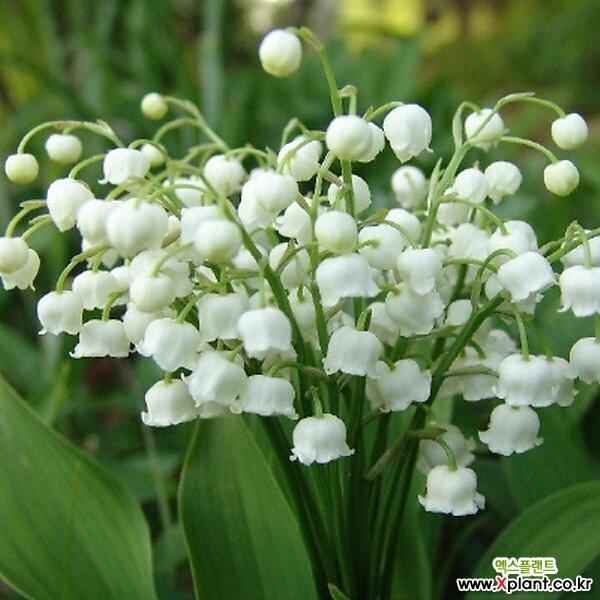 은방울꽃 모종(3개) 노지월동 식용식물 케이야생화