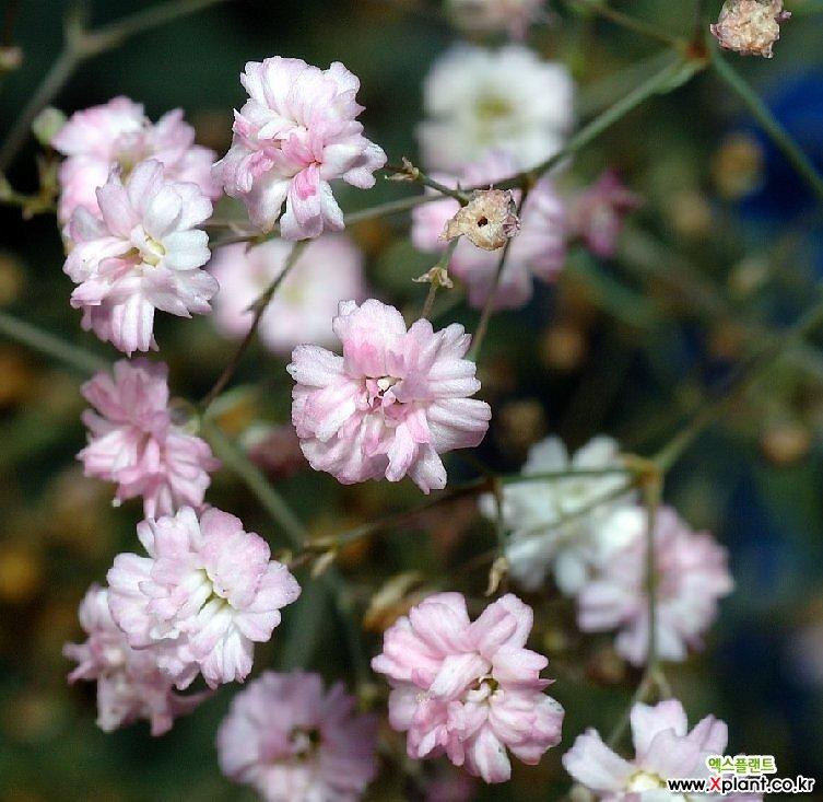 겹분홍안개-핑크 모종(4개) 노지월동 다년초 케이야생화