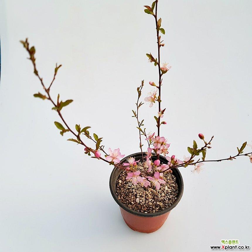 산앵두나무(소품)