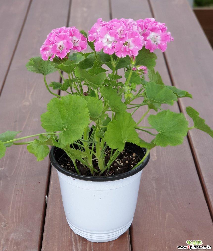 렌디 제라늄  중품 잎색과 꽃색이 너무 이쁜  / 꽃보러가자