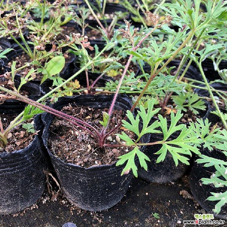 유럽할미꽃 모종(4포트) 노지월동 다년초 케이야생화