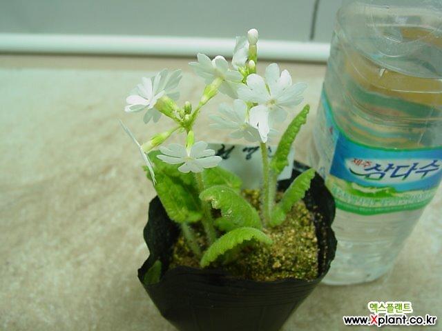 흰앵초-한국자생종-포트분
