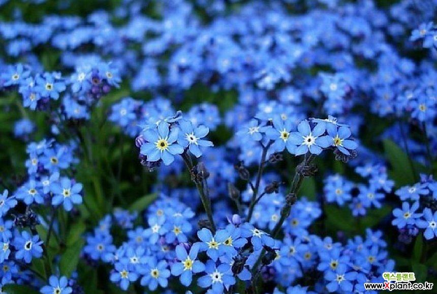 물망초-블루 모종(4개) 한정수량 노지월동 [천지가야생화]