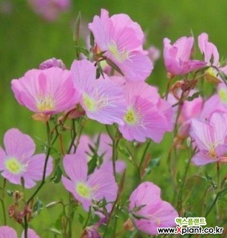 노지월동 되는 분홍 향기 달맞이꽃