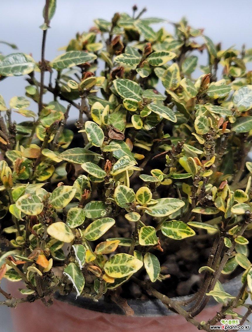 무늬 마삭줄 황제 외목대