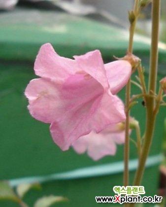 노지월동 되는 분홍 능소화