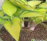 노지월동 되는 미니종 분홍 능소화