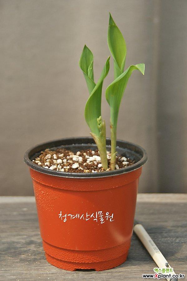[노지월동] 토종 은방울꽃 2촉상품 / 사진촬영 2021년 4월 25일