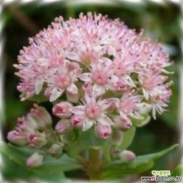 꽃씨앗(5000립) 꿩의비름 씨앗 종자씨앗 야생화 씨앗모음 할인