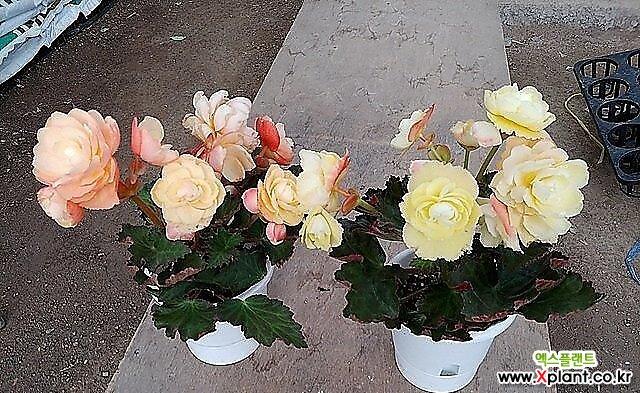 신종큰꽃향기베고니아-샤넬