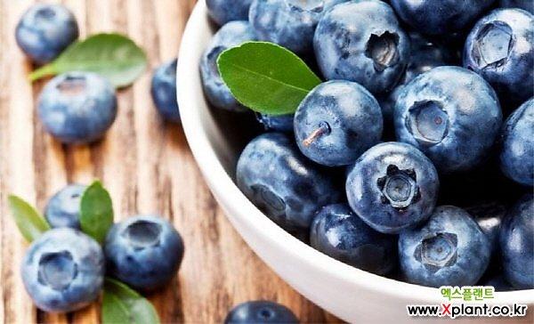 자가수정 결실주 블루베리나무 화분상품/왕블루베리/유실수/과일나무