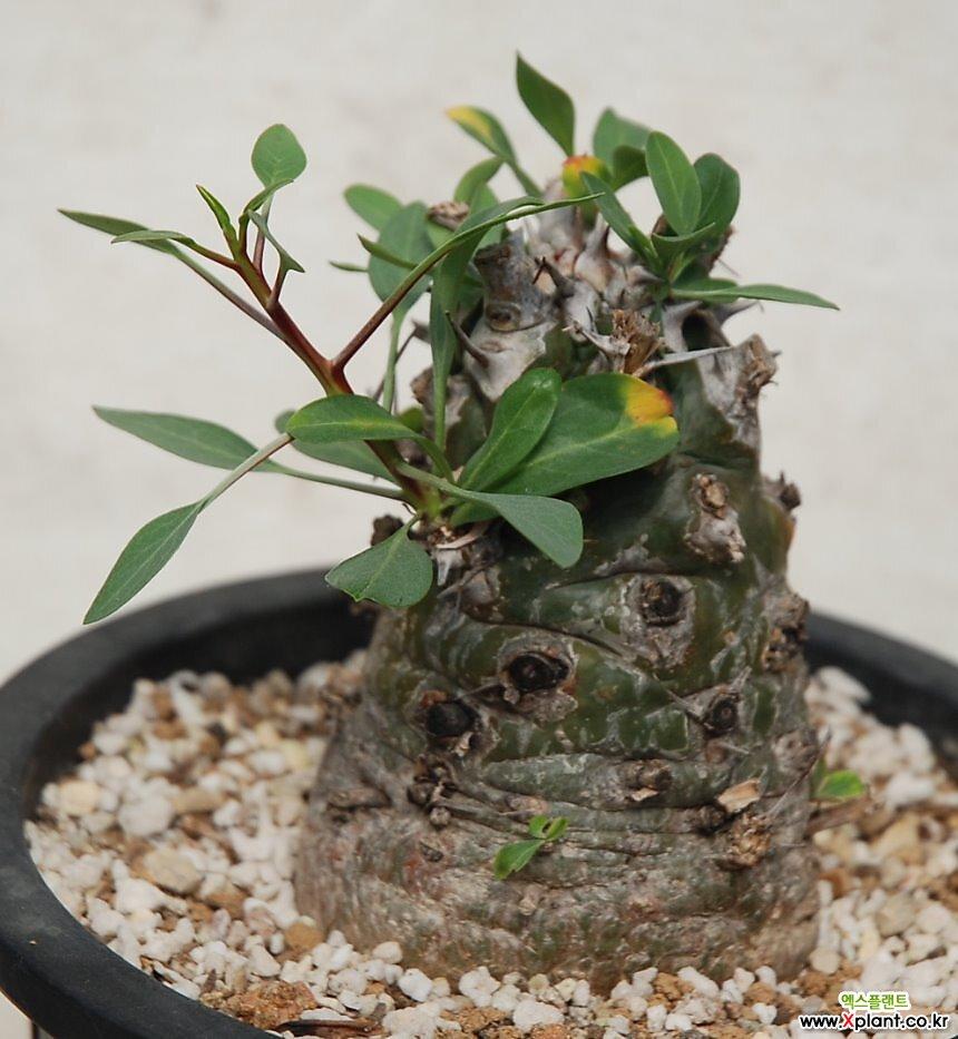 fouguieria  columnaris  콜룸나리스