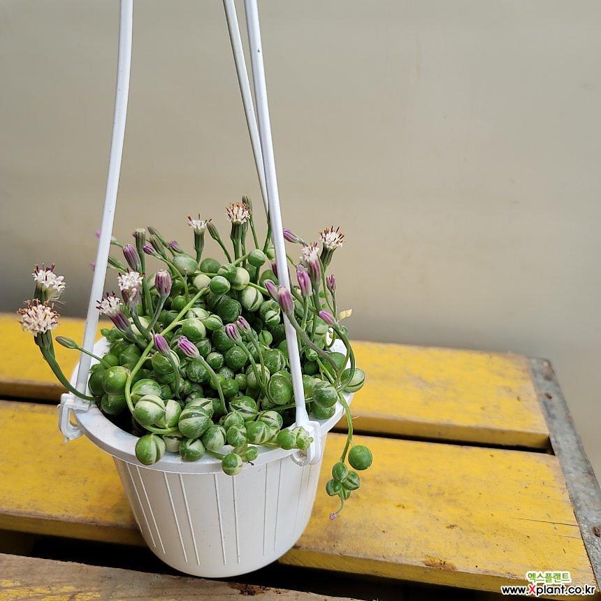 무늬콩난걸이(꽃이 보라색으로 피네요)