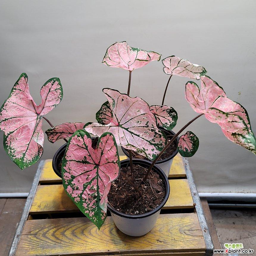 핑크 스플래쉬 칼라디움(수입식물) 색상이 투명하고 멋져요