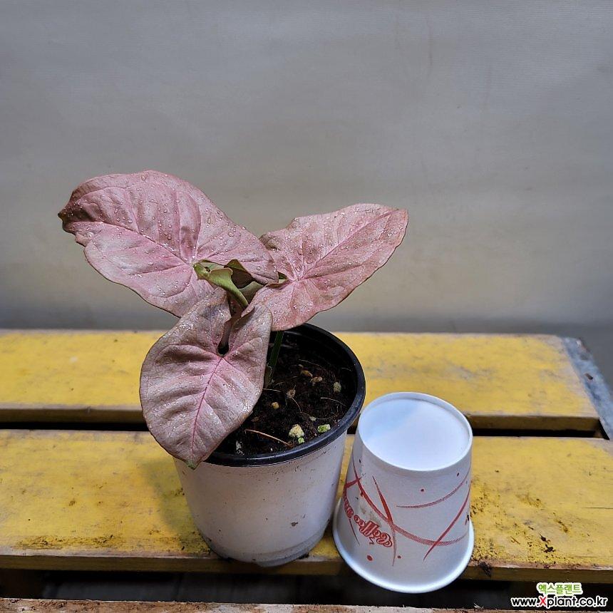 핑크싱고니움(재입고)