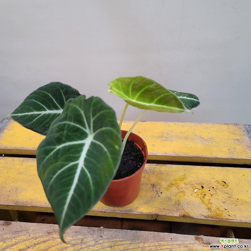 블랙벨벳알로카시아(수입식물) 새로입고