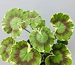 흰색랜디제라늄 제라늄 실내식물 랜디 공기정화식물 엑스플랜트