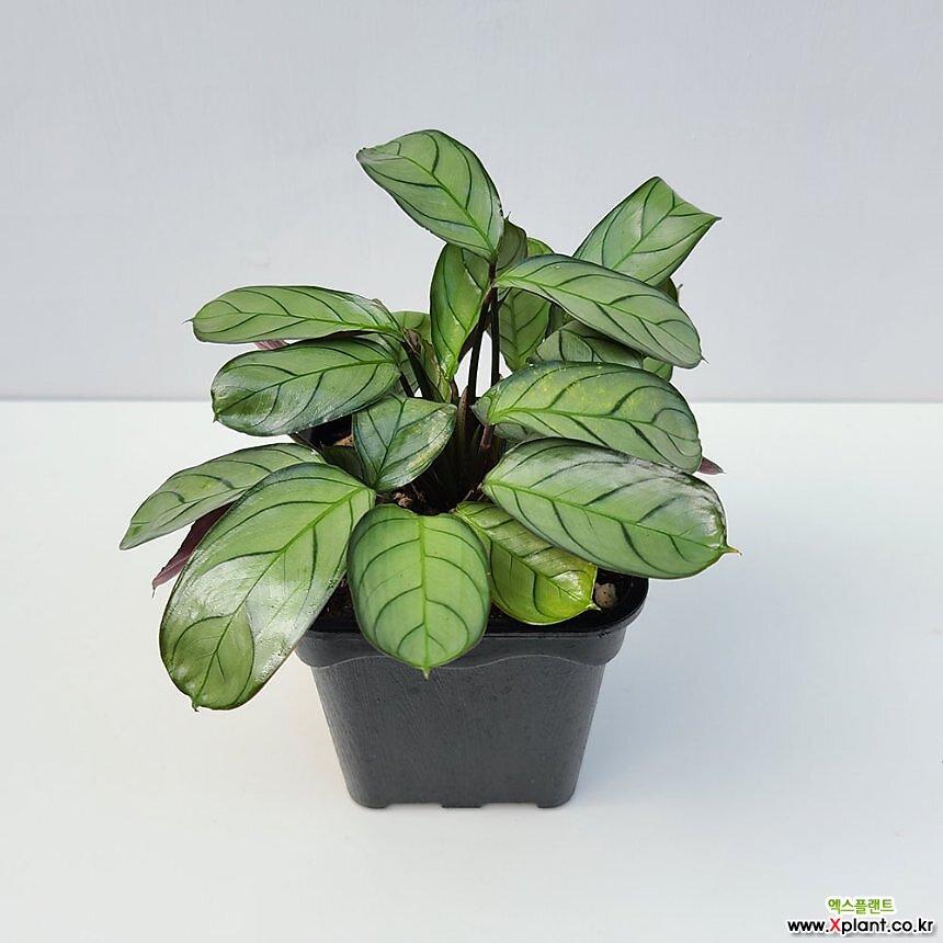그루그루 칼라데아 아마그리스 크테난테 희소성높은 공기정화식물 저렴하게판매 화훼농가