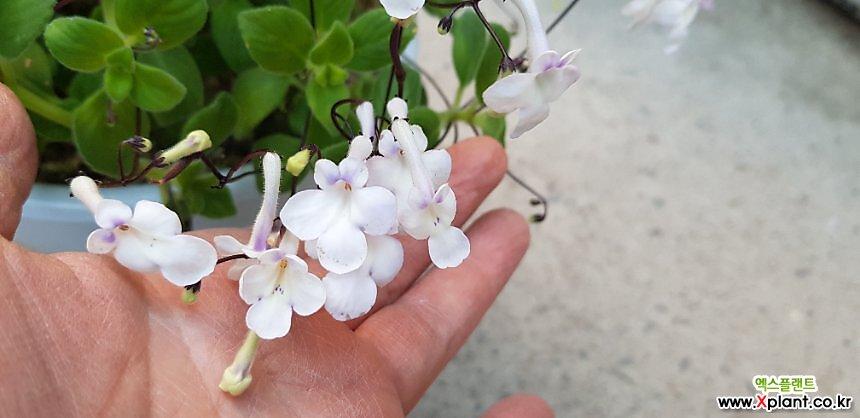 흰색삭소롬(랜덤발송)