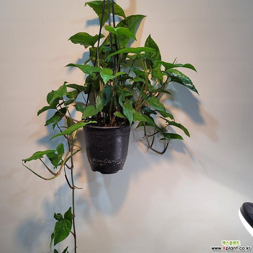싱고니움걸이(미세하게 무늬도 있네요) 수입식물