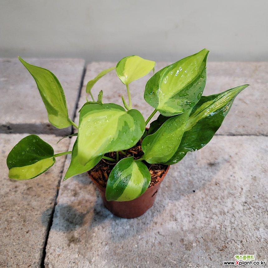 옥시카르디움 브라질(수입식물)  무늬종(새로입고)