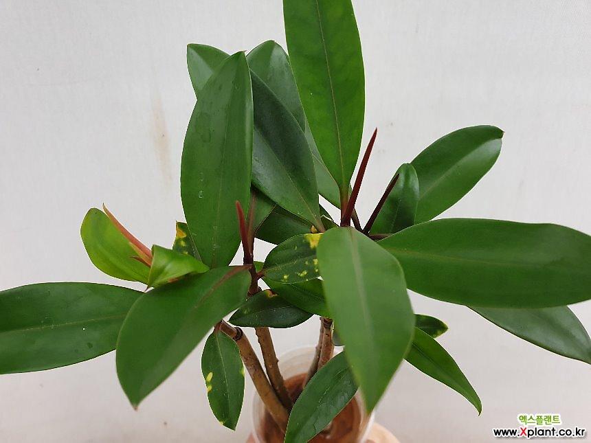 맹그로브나무 5촉 수경재배로 참 예뻐요