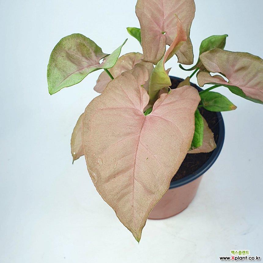 핑크싱고니움 싱고니움 분홍빛 공기정화식물 한빛농원