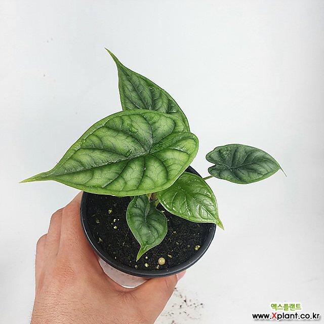 알로카시아 드래곤스케일 공기정화식물 한빛농원