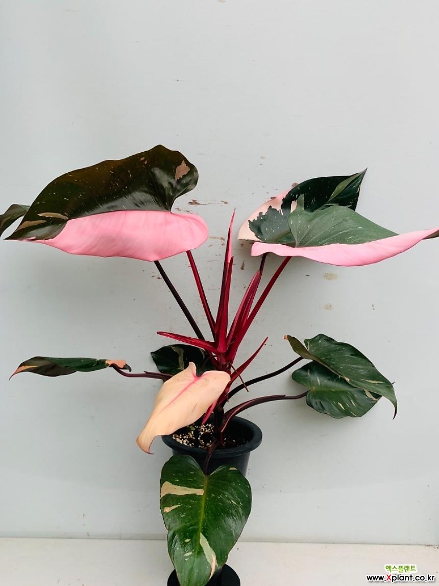 최상품 핑크프린세스 특대품/ 동일품배송/ 높이 85 너비 87 잎길이 30