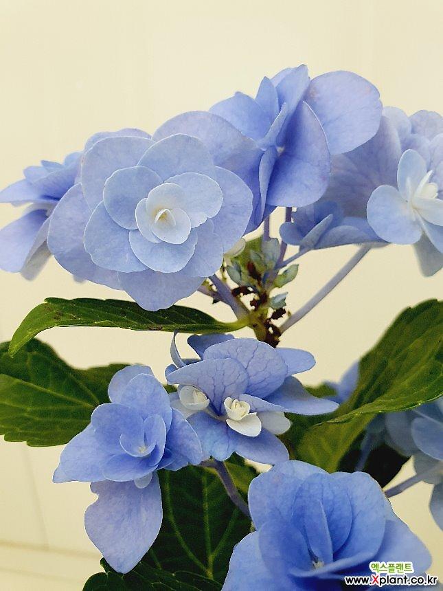 장미수국 2꽃대