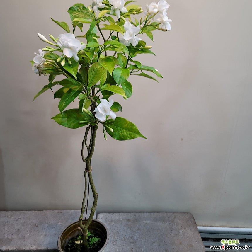 비타자스민(그레이프자스민) 중품  꽃이 피면 향기가 가득해요