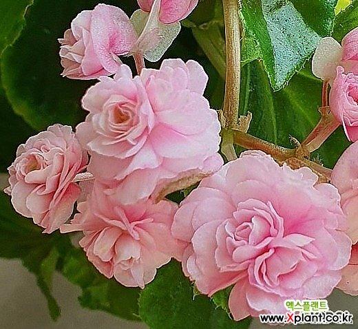 분홍 팝콘 베고니아 소품
