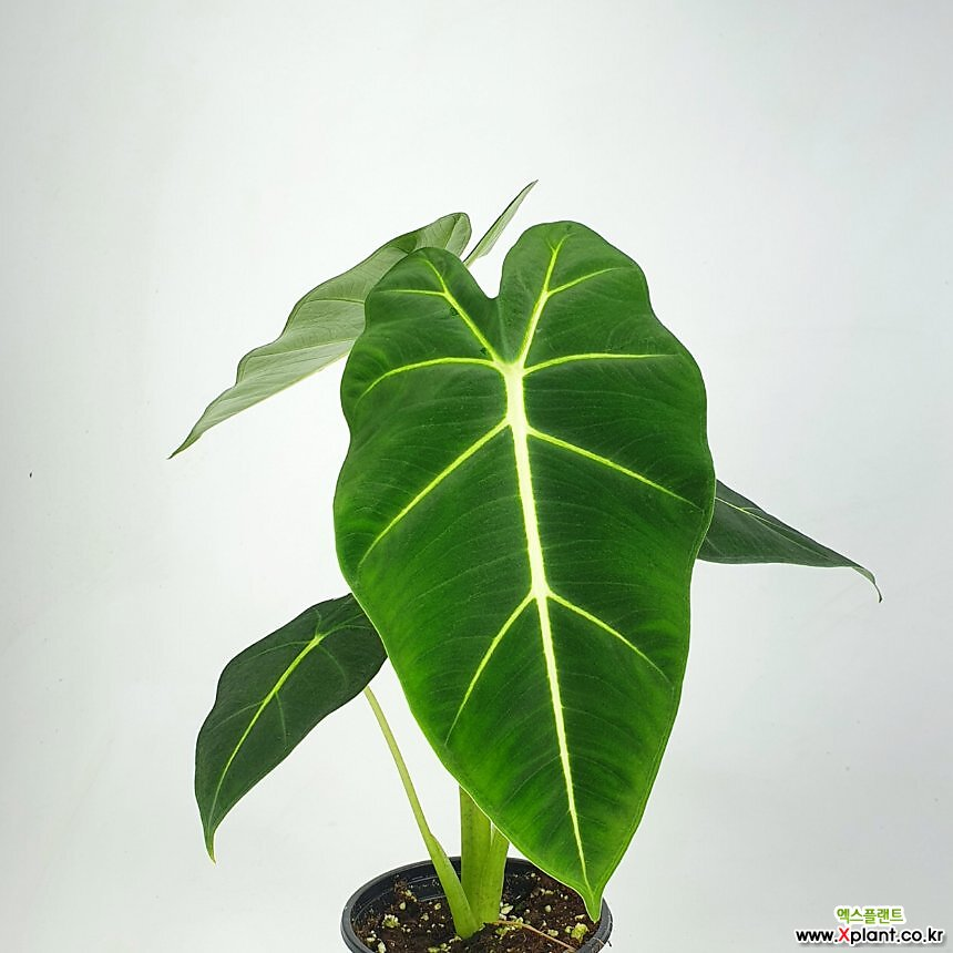 프라이덱 알로카시아 그린벨벳 초특가 공기정화식물 한빛농원