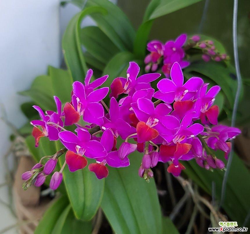 호접.체리.군생2촉.꽃마당히트상품.자주핑크색.신상품입고.꽃형 아주아주아주 작고 귀여운형.작은품종.귀한품종.키우기 쉬운난.꽃대있어요.