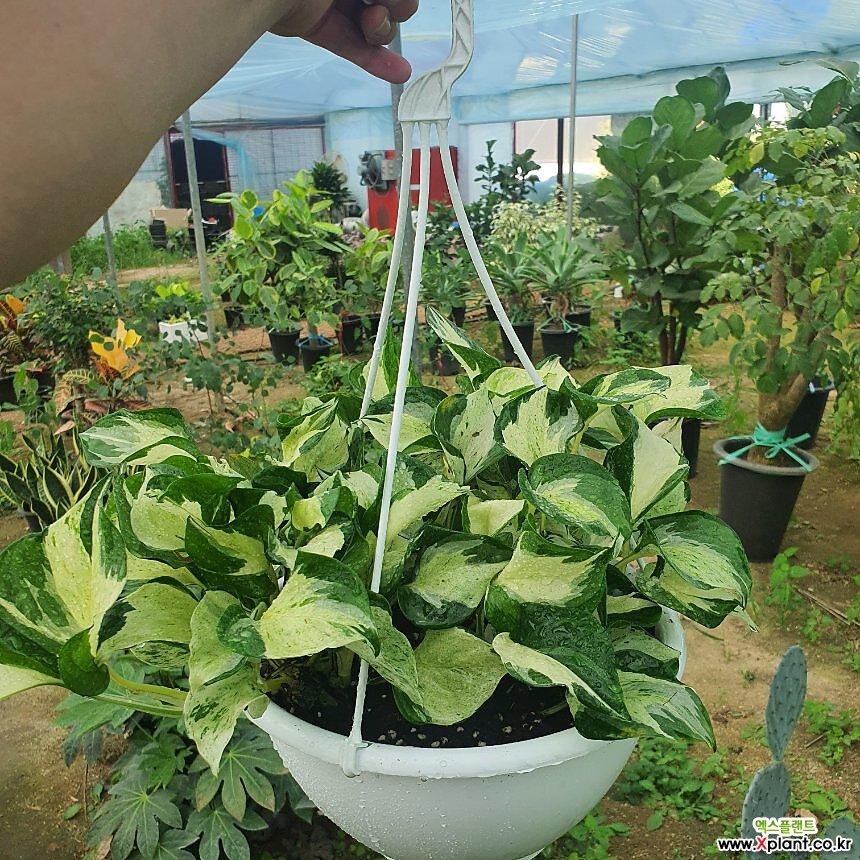 오레우스 스킨 (걸이형 희귀스킨식물)