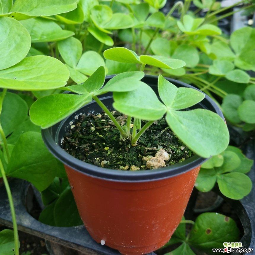땅콩사랑초