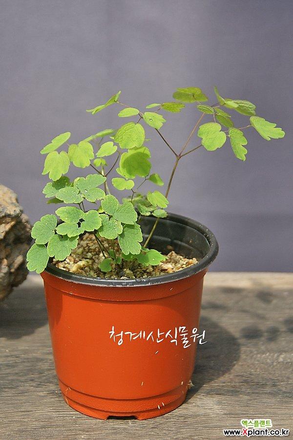 [노지월동] 토종 금꿩의다리 / 사진촬영 2021년 9월 4일