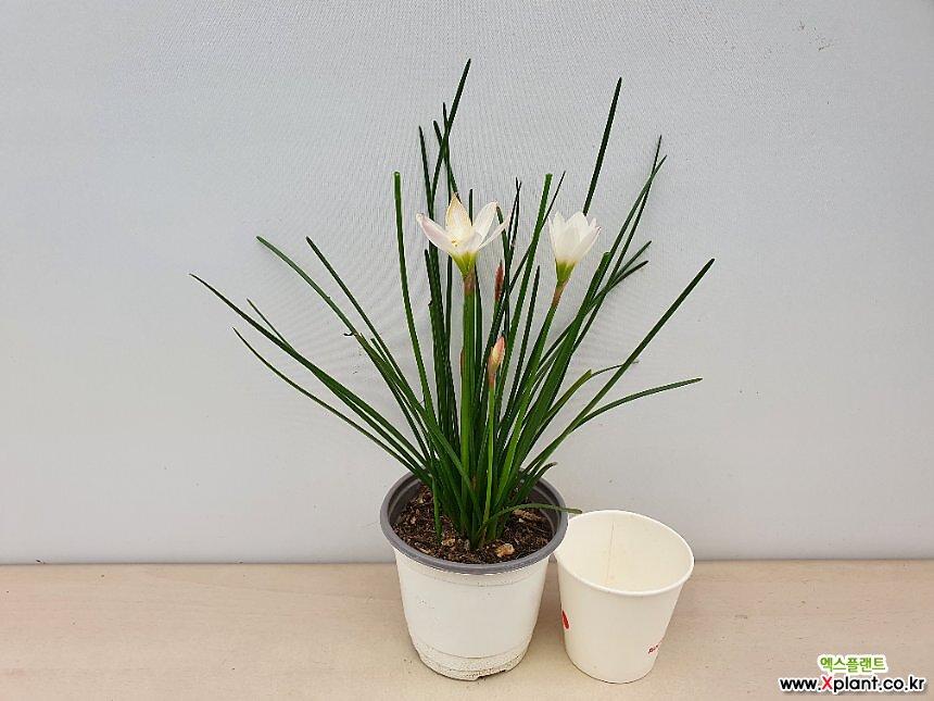 흰꽃나도샤프란(소품)