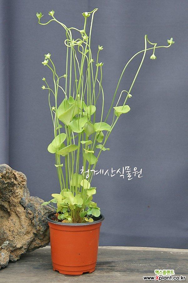[노지월동] 꽃대올리는 토종 물매화 / 사진촬영 2021년 9월 6일
