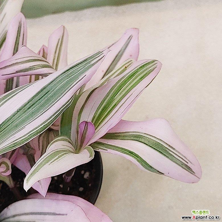 하늘꽃농원 번식력이 강한 삼색달개비 무늬달개비(소품)