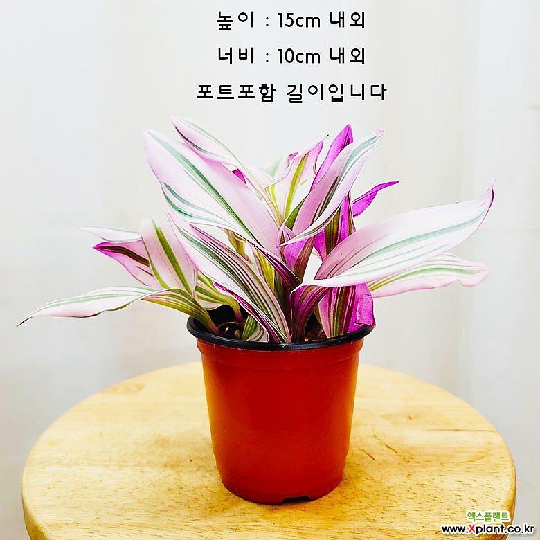 김규리플라워 삼색달개비 무늬 달개비